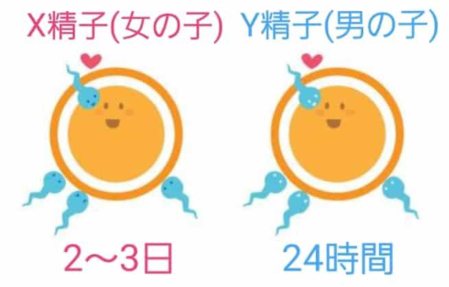 X精子とY精子